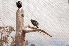 The California condor is a bird belonging to the family of the Catartides, stock photo