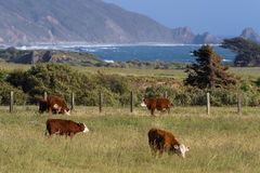 California cows. Healthy calfs roaming on open grass lands on the California coast Stock Image
