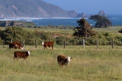 California cows Stock Photography