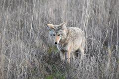 California Coyote Hunting In Wetland In Northern California