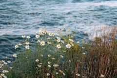 Daisies or sunflowers by La Jolla Coast, California. California daisy or sunflowers are in bloom by the coast of La Jolla. Photo taken at the coastline at La Stock Photography