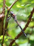 California Darner - Rhionaeschna californica Stock Photos