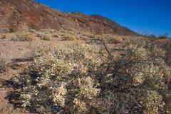 California, Death Valley National Park, Desert vegetation Royalty Free Stock Photography