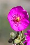 California Desert Wildflowers Royalty Free Stock Images