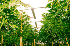 California Dreaming Medical Marijuana Royalty Free Stock Photography
