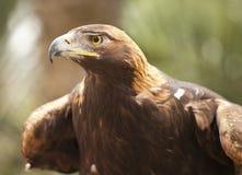 California Eagle de oro imagen de archivo libre de regalías