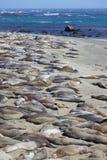 California Elephant Seals Royalty Free Stock Photography