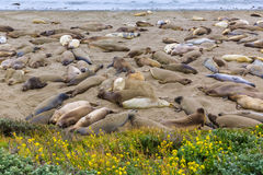 California Elephant Seals in Piedras Blancas point Big Sur Royalty Free Stock Image