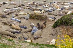California Elephant Seals in Piedras Blancas point Big Sur Royalty Free Stock Photos