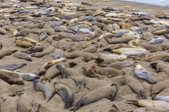 California Elephant Seals in Piedras Blancas point Big Sur Royalty Free Stock Photography