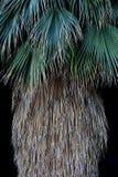California Fan Palm abstract; Joshua Tree National Park, California royalty free stock image