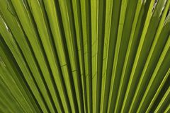 California fan palm, Desert fan palm Stock Image