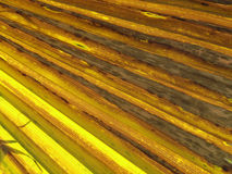 California fan palm, Desert fan palm Stock Images