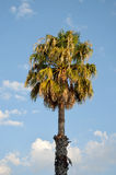 California fan palm tree. Against the blue with some clouds sky stock images