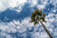 California fan palms Royalty Free Stock Photo