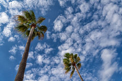 California fan palms Royalty Free Stock Image