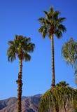 california fan palmy palm wiosna drzewa Zdjęcie Stock