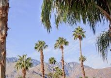 california fan palmy palm wiosna drzewa Obrazy Stock