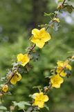 California flannelbush, fremontodendron californicum Royalty Free Stock Photo