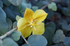 California flannelbush, Fremontodendron californicum Royalty Free Stock Photos