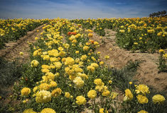 California Flower Fields, San Diego County. Colorful yellow ranunculus flowers in the flower fields, of San Diego County, southern, California, ready for cutting royalty free stock photos