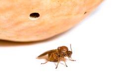 California Gall Wasp, Andricus quercuscalifornicus Stock Photos