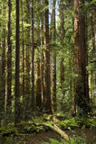 california gigantyczni muir redwood drzew drewna Fotografia Royalty Free