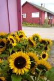 California: girasoles del soporte de la granja Foto de archivo libre de regalías