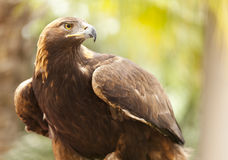California Golden Eagle Stock Photography