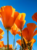 California Golden Poppies against a blue sky Royalty Free Stock Photo