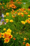 California Golden Poppies and Blue and White Columbines royalty free stock photography