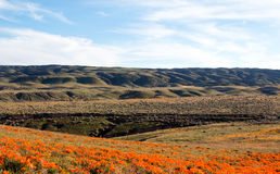 California Golden Poppies in the high desert of southern California. Between Palmdale and Lancaster Stock Photography