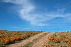 California Golden Poppies in the high desert of southern California. Between Palmdale and Lancaster growing over and S shaped road stock photography