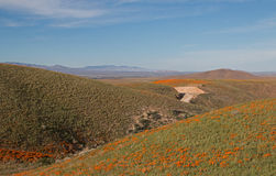 California Golden Poppies in the high desert of southern California Stock Photos