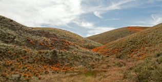 California Golden Poppies in the high desert of southern California Royalty Free Stock Photos