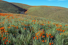 California Golden Poppies in the high desert of southern California. California Golden Poppies under blue cirrus cloudscape in the high desert of southern stock photo