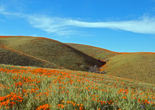 California Golden Poppies in the high desert of southern California. California Golden Poppies under blue cirrus cloudscape in the high desert of southern royalty free stock photography