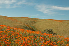 California Golden Poppies in the high desert of southern California Royalty Free Stock Photo