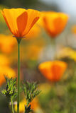 California golden poppies Macro Close Up. Royalty Free Stock Image