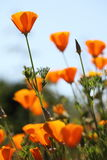 California golden poppies Macro Close Up. Royalty Free Stock Photo