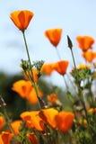California golden poppies Macro Close Up. Royalty Free Stock Photo