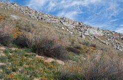 California Golden Poppies near Lake Isabella Stock Photo