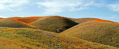 California Golden Poppies and purple sage in the high desert of southern California Stock Photography