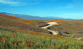 California Golden Poppies and purple sage in the high desert of southern California Stock Photo