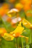 California golden poppies Royalty Free Stock Photos
