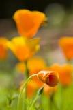 California golden poppies Stock Images