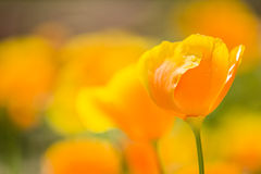 California golden poppies Stock Image