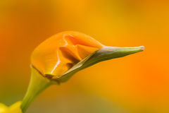 California golden poppies Royalty Free Stock Photography