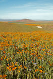 California Golden Poppies and yellow sage flowers in the high desert of southern California Royalty Free Stock Photography
