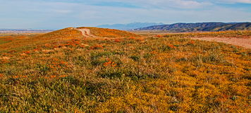 California Golden Poppies and yellow sage flowers in the high desert of southern California. Between Palmdale and Lancaster royalty free stock photos